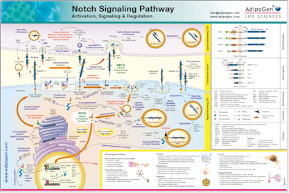 Poster AdipoGen Notch